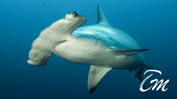 Scalloped hammerhead shark in Maldives