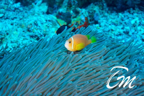 Soft Corals in Vaavu atoll